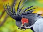 Smokey Grey Palm Cockatoo