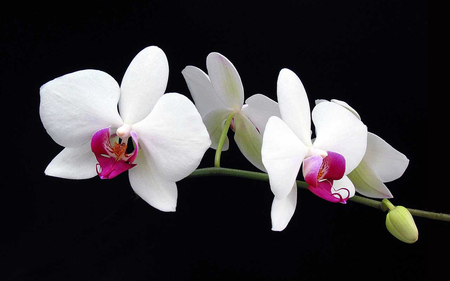 White orchid flowers nature background wallpapers on - White orchid flowers desktop wallpapers ...