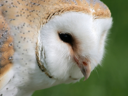 Church Owl - beige, white, beak, green, eye, owl