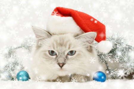 Christmas Cat - colorful, christmas, photography, cats, face, magic, balls, new year, red, eyes, cute, sweet, holiday, animals, xmas, kitty, cat face, adorable, cat, blue, colors, magic christmas, merry christmas, ball, beauty, beautiful, christmas cat, pretty, kitten, silver, happy new year, paws