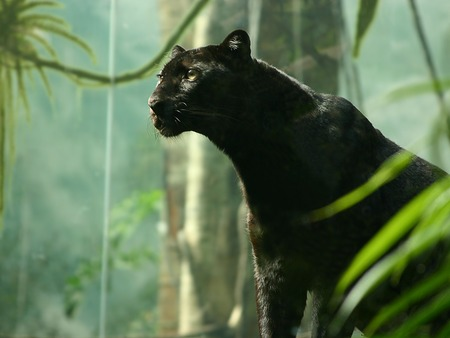 BLACK PANTHER - panther, black, cat