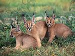 little caracals