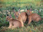 little caracals