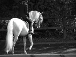 Andalusian Black and White