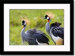 Crowned Crane Pair