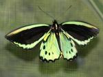 Kuranda Butterfly