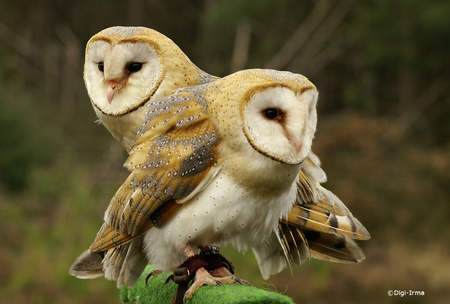 Pair of Owls - nature, owls, two, animal
