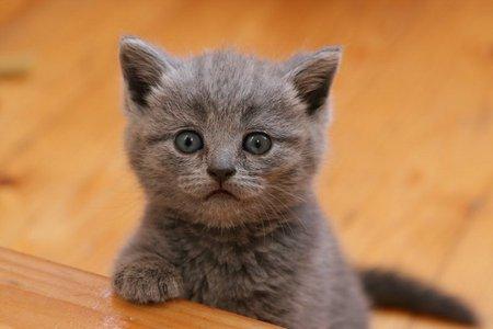 Baby Cat Cats Animals Background Wallpapers On Desktop Nexus