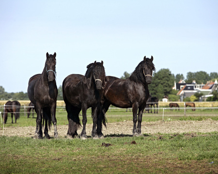 Tree Friezians for Beatriz - tree, friesians, nature, gift, holland, horses