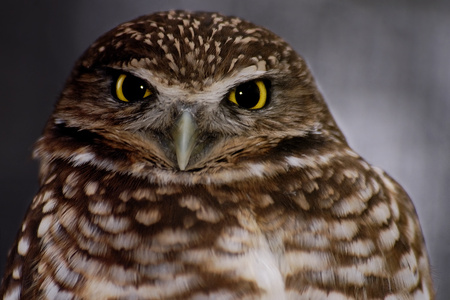 the owl - animals, birb, nature, owl