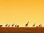 giraffes in the desert