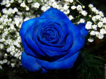 Rose Bleu Forces Of Nature Nature Background Wallpapers On