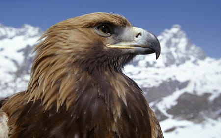 eagle - animals, nature, eagle, bird