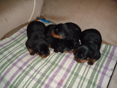 Baby Rottweilers Dogs Animals Background Wallpapers On Desktop