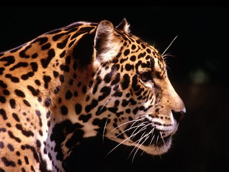 Leopard  Black Backround - leopard, cat, cat of prey