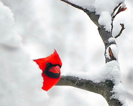 Peeking out - cardinal, snow, winter, red, branches, tree