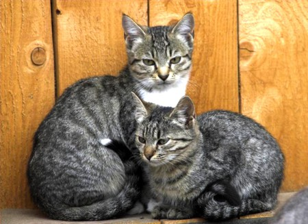 Grey Cats - cool, picture, cats, grey