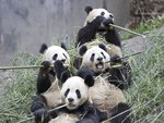 Group Giant Pandas at Dinner