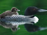 Common Loon With Chick Quebec