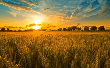 Waiting for Harvest - grain, orange, blue, sunlight, spike, clouds, trees, yellow