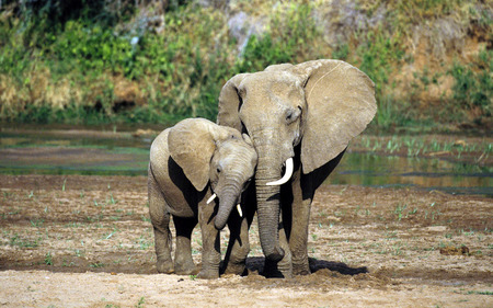 elephants love - mom elephant, beautiful, river, africa, daughter elephant