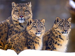 Illusive Snow Leopards
