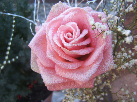 Frozen rose flowers nature background wallpapers on desktop nexus image 551447 - Beautiful frozen computer wallpaper ...