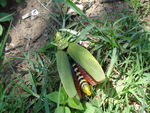 Green milkweed type locust