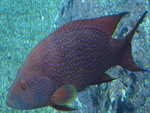 Blue Spotted Grouper