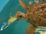 Hungry Sea Turtle