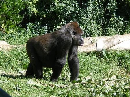 Gorilla - big, gorilla, hairy, black