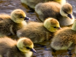 GORGEOUS GOSLINGS