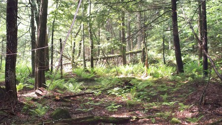Loverens Mill Cedar Swamp Forest - antrim, nature conservancy, nh, new hampshire