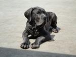 Bruno Neapolitan Mastiff 2