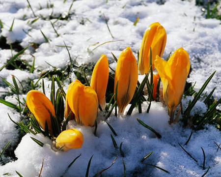 Yellow Flowers In Snow Winter Nature Background Wallpapers On