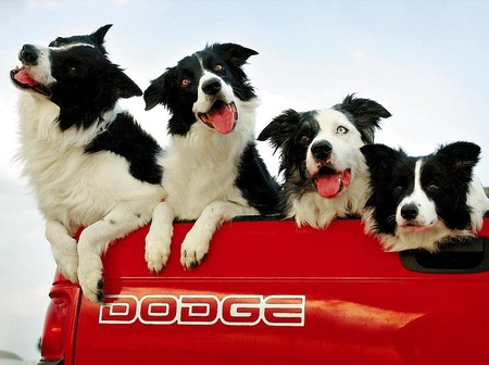 dogs in cars - border collie, pickup truck, dodge, mama7mia