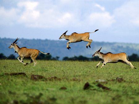 Antelopes - antelopes, animals, nature
