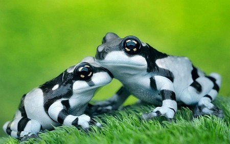 14 - frogs, nature, dartfrogs, creature