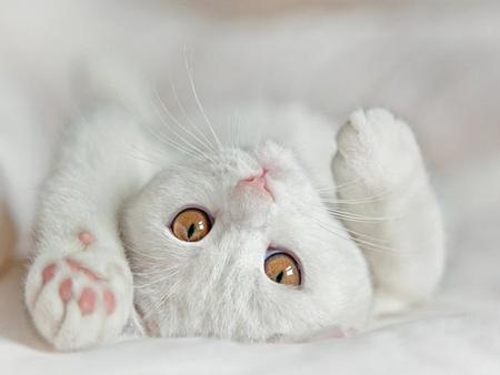cotton cat - Cats & Animals Background Wallpapers on Desktop Nexus (Image  571135)