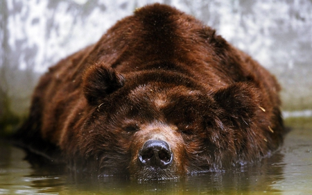 PEACEFUL REST - rest, water, brown, bear, huge, grizzly