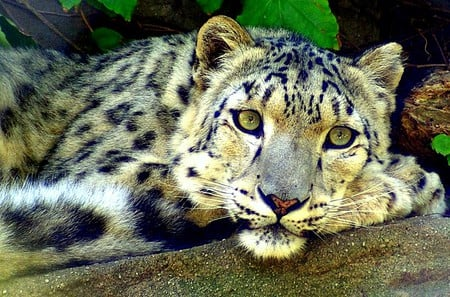 Nice Snow Leopard - animal, snow leopard, cats, big cat
