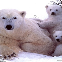 a family of polar bears for you nanouk