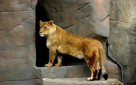 Lion - beautiful, lion, animals, cats