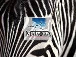 mataora-zebra