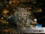 mataora-lynx