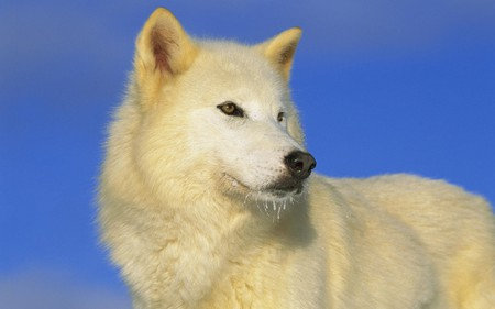 Artic White Wolf - artic, wolf, white, dog, animal