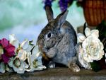 Chinchilla grey rabbit