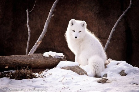 White Fox Other Amp Animals Background Wallpapers On