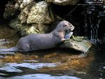 Otter with Dinner