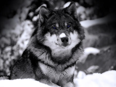 BLUE EYED WOLF - snow, blue, wolf, eyes
